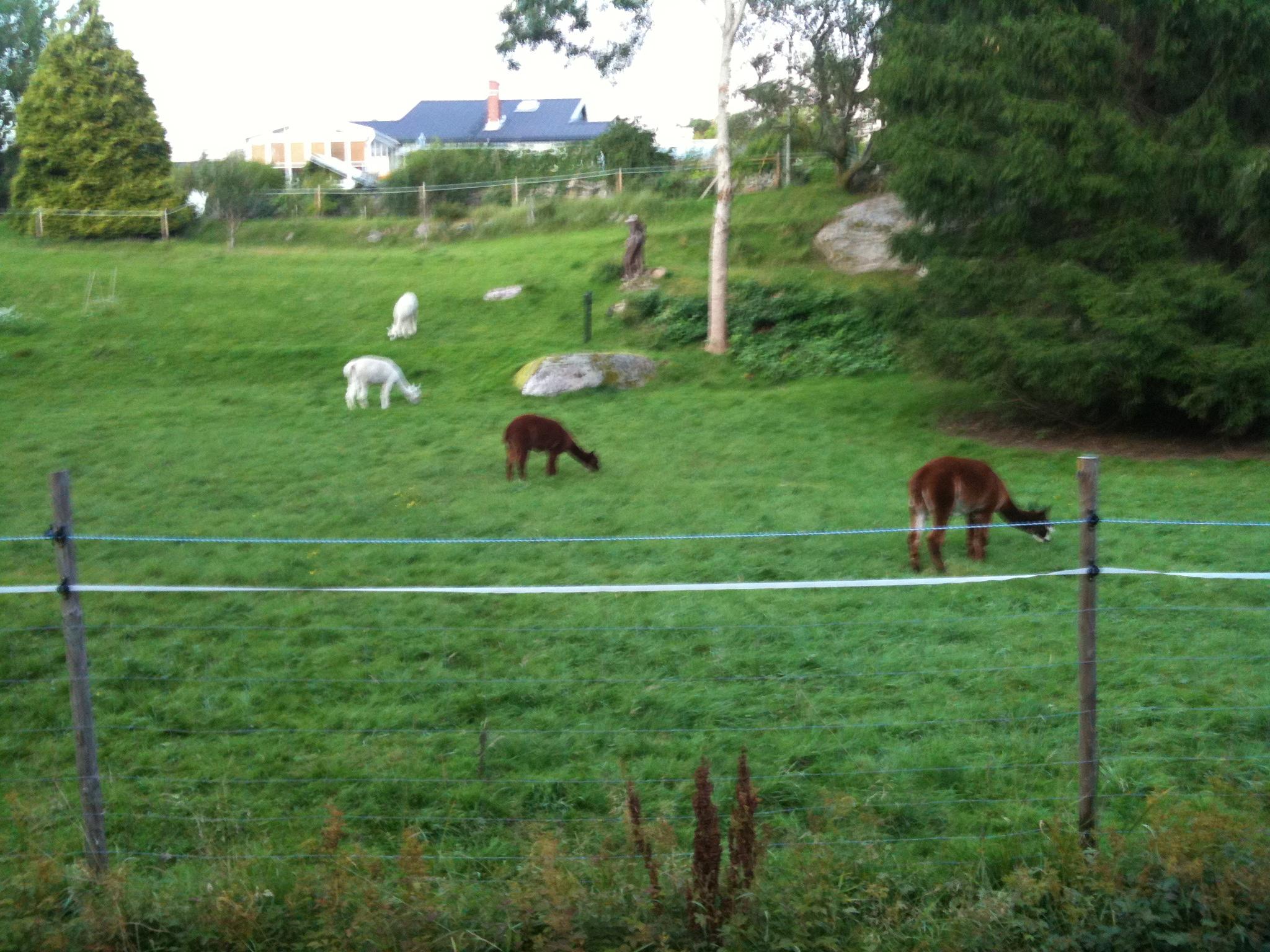Alpackor betande utanför Mölnlycke.
