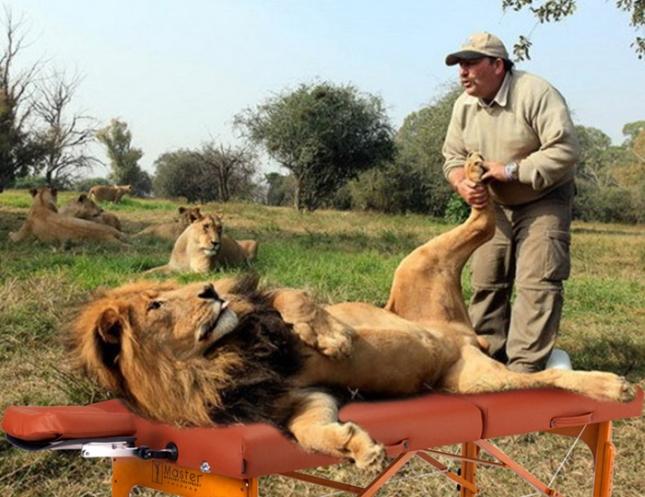 Till och med lejon behöver massage! från internet.