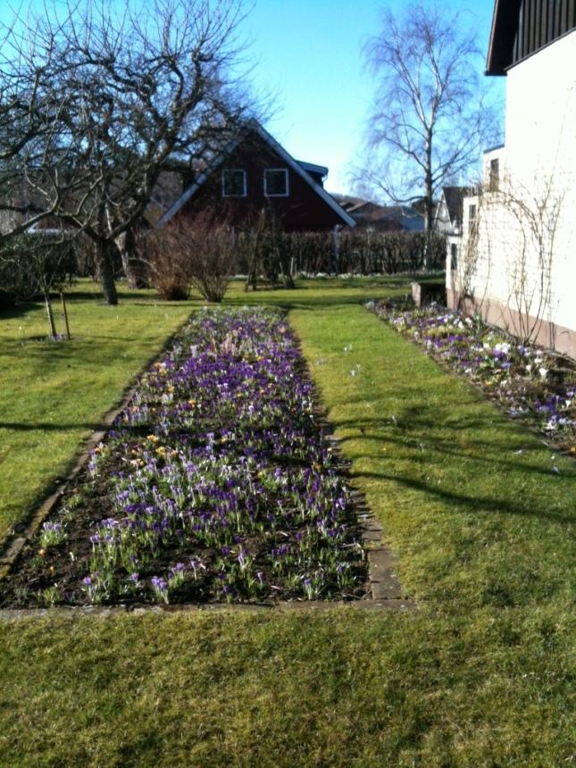 Vårkrokusar i långa banor! foto Ell-Britt Hansson